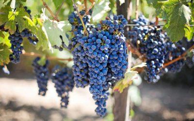Uva tempranillo, la más utilizada para los vinos españoles