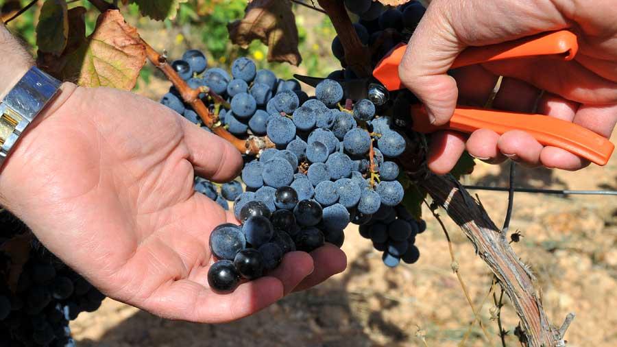 Uva vendimiada con su valor máximo de color